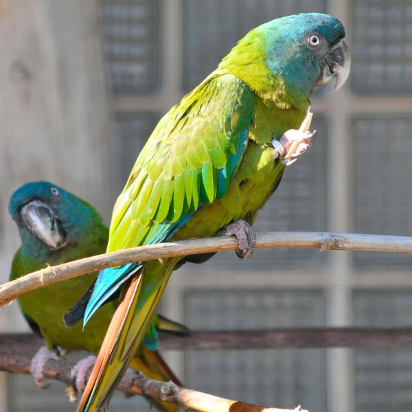 blue headed macaw for sale